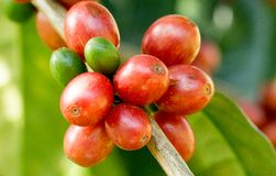 Coffee beans ripening on tree in North of thailand Royalty Free Stock Image