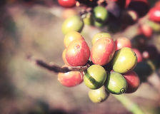 Coffee beans ripening. On tree in North of thailand ,Vintage Royalty Free Stock Images