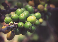 Coffee beans ripening. On tree in North of thailand ,Vintage Royalty Free Stock Image