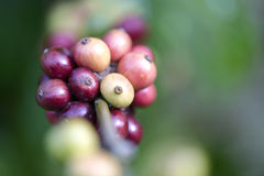 Coffee beans ripening on tree. Red coffee beans ripening on tree Stock Photos