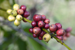 Coffee beans ripening on tree. Red coffee beans ripening on tree Royalty Free Stock Photography