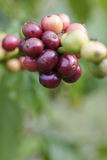 Coffee beans ripening on tree Stock Photo