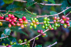 Coffee beans ripening on tree in thailand Royalty Free Stock Images
