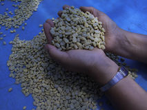 Coffee beans. Are selected randomly UK Stock Image