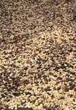 Coffee beans drying Royalty Free Stock Photos