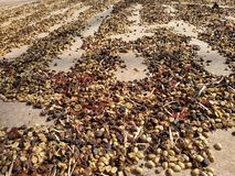 Sun drying of coffee beans. Coffee Beans sun drying on the floor royalty free stock photo
