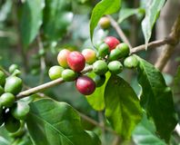 Coffee beans tree . Coffee beans on coffee tree Royalty Free Stock Photography