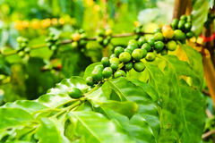 Coffee beans on tree Stock Photos
