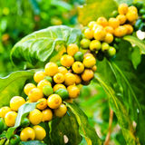 Coffee beans on tree. In farm Royalty Free Stock Photos