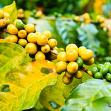 Coffee beans on tree. In farm Royalty Free Stock Photography