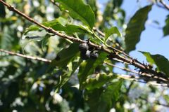 Coffee beans on the tree Stock Photography