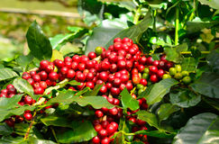 Coffee beans on tree. Background Stock Images