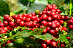 Coffee beans on tree. Background Royalty Free Stock Image