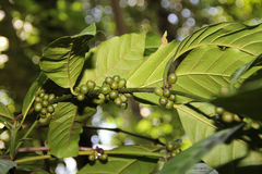 Coffee Beans on tree. A coffee bean is a seed of the coffee plant, and is the source for coffee. coffee beans consist mostly of endosperm. The two most Stock Photography