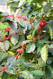 Coffee beans on tree in Chiangmai Thailand. Coffee beans on tree in north of Thailand Stock Photos