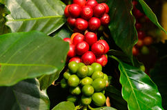 Coffee beans on tree. Cloesed up coffee beans on tree Stock Photos