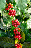Coffee beans on tree. Closed up coffee beans on tree Royalty Free Stock Photo