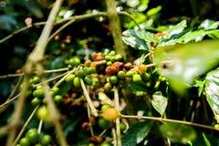 Coffee beans on tree. In farm Stock Photos
