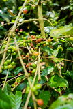 Coffee beans on tree. In farm Royalty Free Stock Images