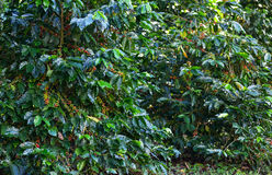Coffee beans on tree. In farm Royalty Free Stock Image