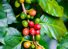 Coffee beans on tree. In coffee farm and plantations Stock Photography