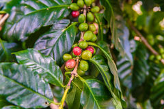 Coffee beans on tree. In coffee farm and plantations Royalty Free Stock Images