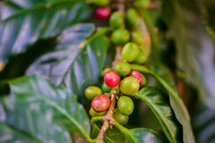 Coffee beans on tree. In coffee farm and plantations Royalty Free Stock Photography