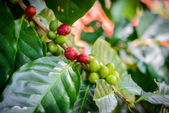 Coffee beans on tree. In coffee farm and plantations Stock Photos