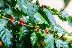 Coffee beans on tree. In coffee farm and plantations Royalty Free Stock Image