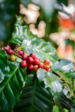 Coffee beans on tree. In coffee farm and plantations Stock Image