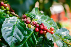 Coffee beans on tree. In coffee farm and plantations Stock Images