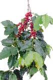 Coffee beans on tree Stock Photos