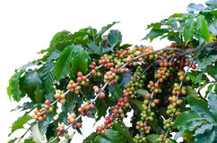 Coffee beans on tree Royalty Free Stock Photo