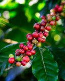 Coffee beans on tree at the mountain in farm. Coffee beans on tree at the mountain in farm northern Thailand stock image