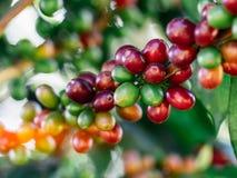 Coffee beans on tree at the mountain in farm. Coffee beans on tree at the mountain in farm northern Thailand stock photos
