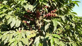 Coffee beans on the tree stock video