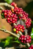 Coffee beans on a tree Stock Photography