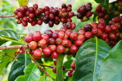 Coffee beans on a tree Royalty Free Stock Photo