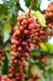 Coffee beans on a tree Royalty Free Stock Images