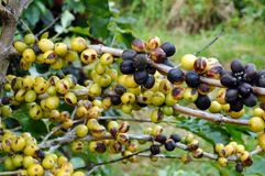 Coffee beans on a tree Royalty Free Stock Image