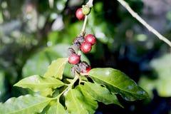 Coffee beans on tree. Selective focus Stock Photos