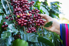 Coffee beans on the tree waiting for the store to make a drink. Hand pick up coffee seed from coffee tree in organic farm Stock Photo