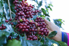 Coffee beans on the tree waiting for the store to make a drink. Hand pick up coffee seed from coffee tree in organic farm Stock Photos