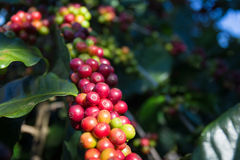 Coffee beans on the tree waiting for the store to make a drink. Hand pick up coffee seed from coffee tree in organic farm Royalty Free Stock Photography