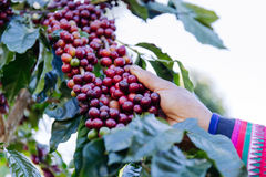 Coffee beans on the tree waiting for the store to make a drink. Hand pick up coffee seed from coffee tree in organic farm Royalty Free Stock Image