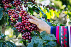 Coffee beans on the tree waiting for the store to make a drink. Hand pick up coffee seed from coffee tree in organic farm Stock Images
