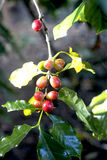 Coffee beans on trees in garden Stock Photography