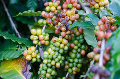 Coffee beans on trees Stock Image