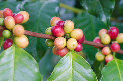 Coffee beans on trees Royalty Free Stock Photos