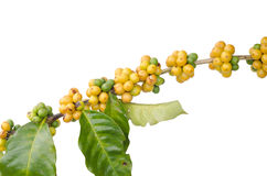 Coffee beans on trees Stock Photo